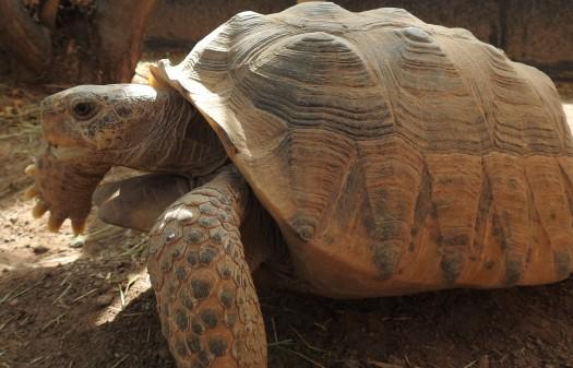 bolson tortoise 2